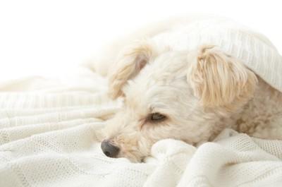 白いブランケットにくるまれて眠る犬