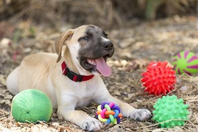 ゴムのおもちゃに囲まれた犬