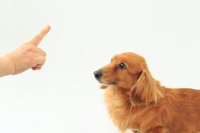 ダックスフンドにお座りの指示を出す人の手
