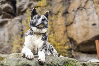 岩山の上から遠くを見つめている秋田犬