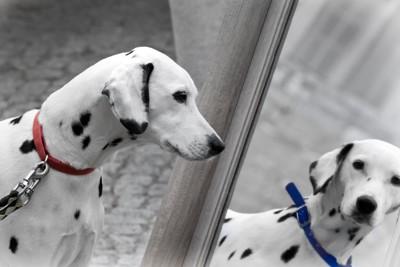 首輪の色が違う鏡の中の犬