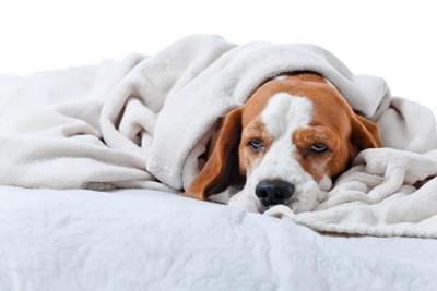 毛布にくるまっている犬