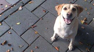 ラブラドールミックスの捨て犬