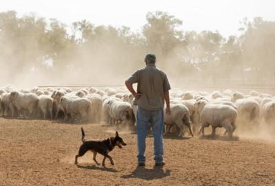 羊をコントロールする犬と人
