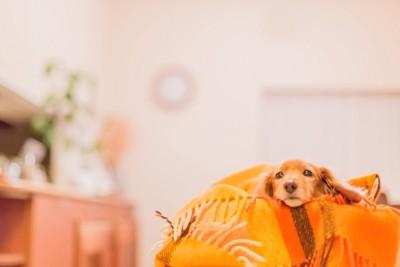 毛布で寝るダックスフンド