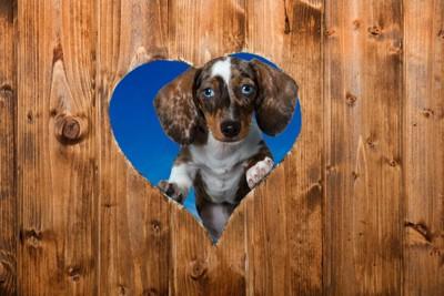 ゲートのハート型の穴から覗き込む犬