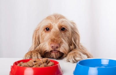 赤い皿を見つめる犬
