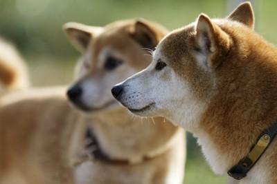 同じ方向を見つめる2匹の柴犬