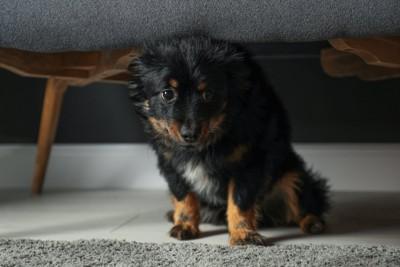 椅子の下に隠れている犬