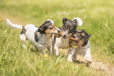 ジャックラッセルの子犬3匹