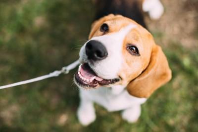 口元を緩めて飼い主を見上げる犬