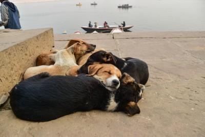 インドの路上の子犬たち