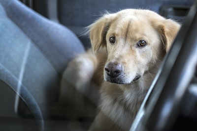 車の中からこちらを見つめる犬