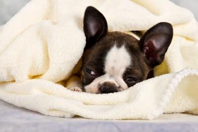 タオルにくるまって寝るボストンテリア