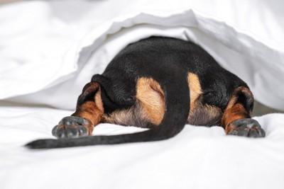 ベッドからお尻だけ出した黒のダックスフンド