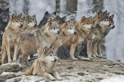 オオカミ」と「犬」 4つの違い