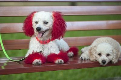 耳や足先の毛を染められている犬
