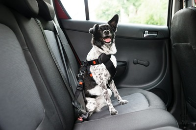 シートベルトを付けた犬