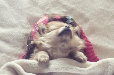 布団の中であおむけで寝る犬