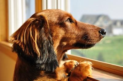 窓の外を見るダックス