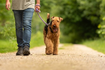 散歩するエアデールテリアと男性