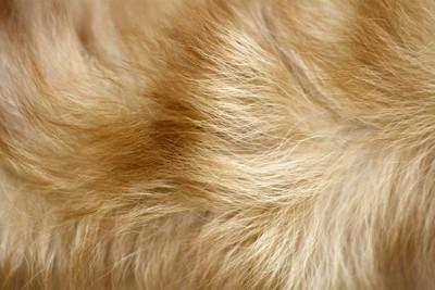 ポメラニアンの毛