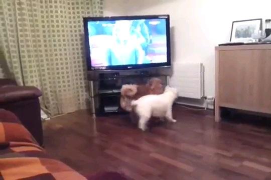 テレビの前に二匹の犬