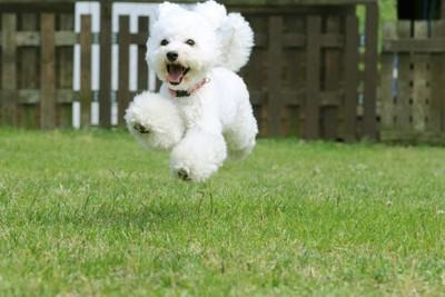 ジャンプする白い犬