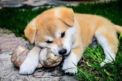 骨を食べる犬