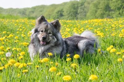 たんぽぽと笑顔の犬