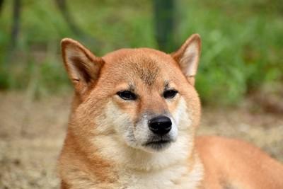無表情で遠くを見つめる柴犬