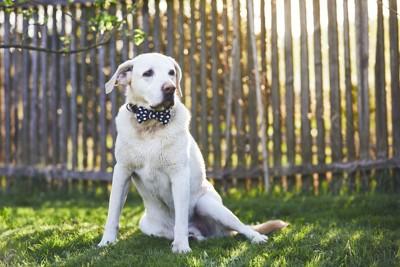 芝生に足を横にして座る犬、水玉のチョーカー