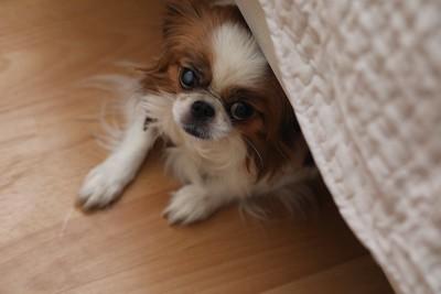 怯えてソファーの下に隠れる犬