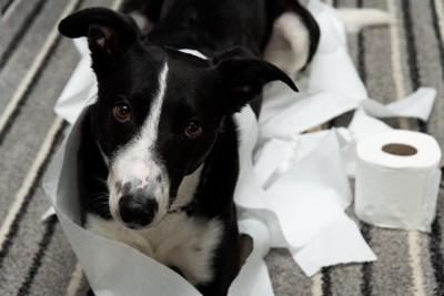 トイレットペーパーをいたずらした犬
