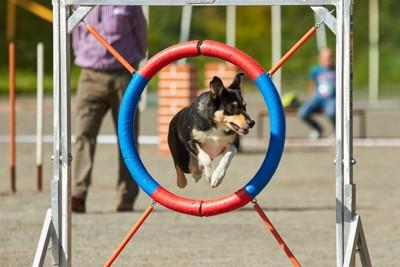障害物レースに参加する犬