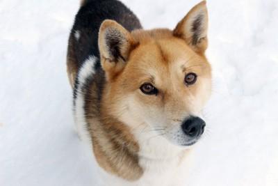 下から見つめる犬、足元に雪