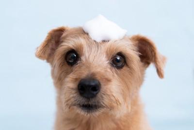 シャンプーの泡を頭に乗せている犬