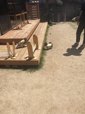 ウッドデッキで遊ぶ犬