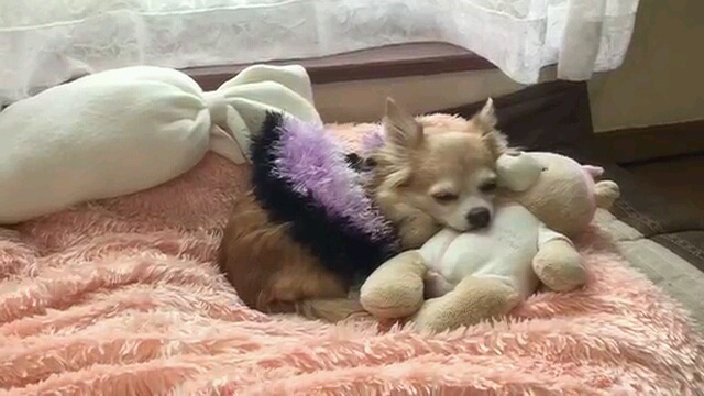 Resultado de imagen para chihuahua 眠る