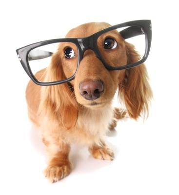 ː眼鏡をかけたダックス