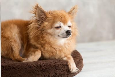クッションの上で眠るチワワ