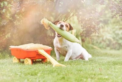 とうもろこしをくわえる犬