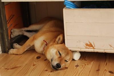 家具の隙間で眠る柴犬