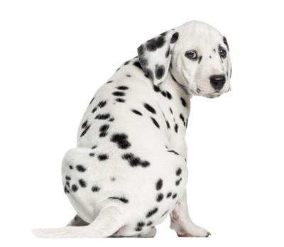 背を向けて振り返るダルメシアンの子犬