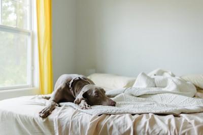ベッドの上でくつろぐグレーの犬