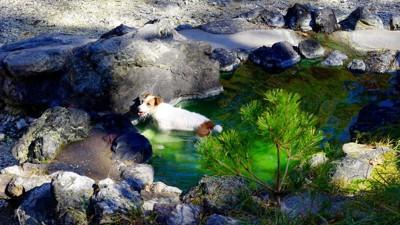 岩に囲まれた温泉に入る犬