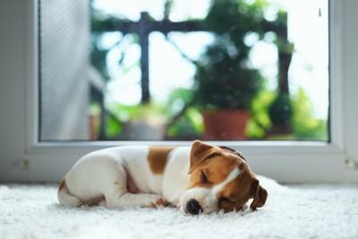 窓辺で眠るジャックラッセルテリアの子犬
