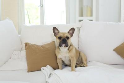 白いソファーとフレンチブルドッグ