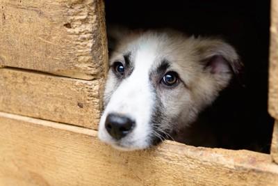 木箱の中から顔を出す犬