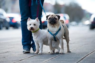 一緒に散歩する首輪をつけた犬と胴輪を付けた犬